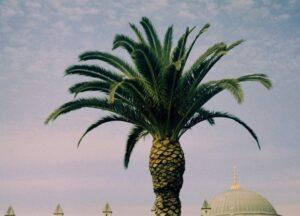palm-turkey